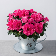 Hampers and Gifts to the UK - Send the Pink Azalea in Teacup