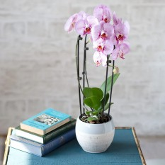 Hampers and Gifts to the UK - Send the Cascade Phalaenopsis Orchid
