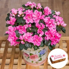 Hampers and Gifts to the UK - Send the Birthday Azalea Plant and Cake